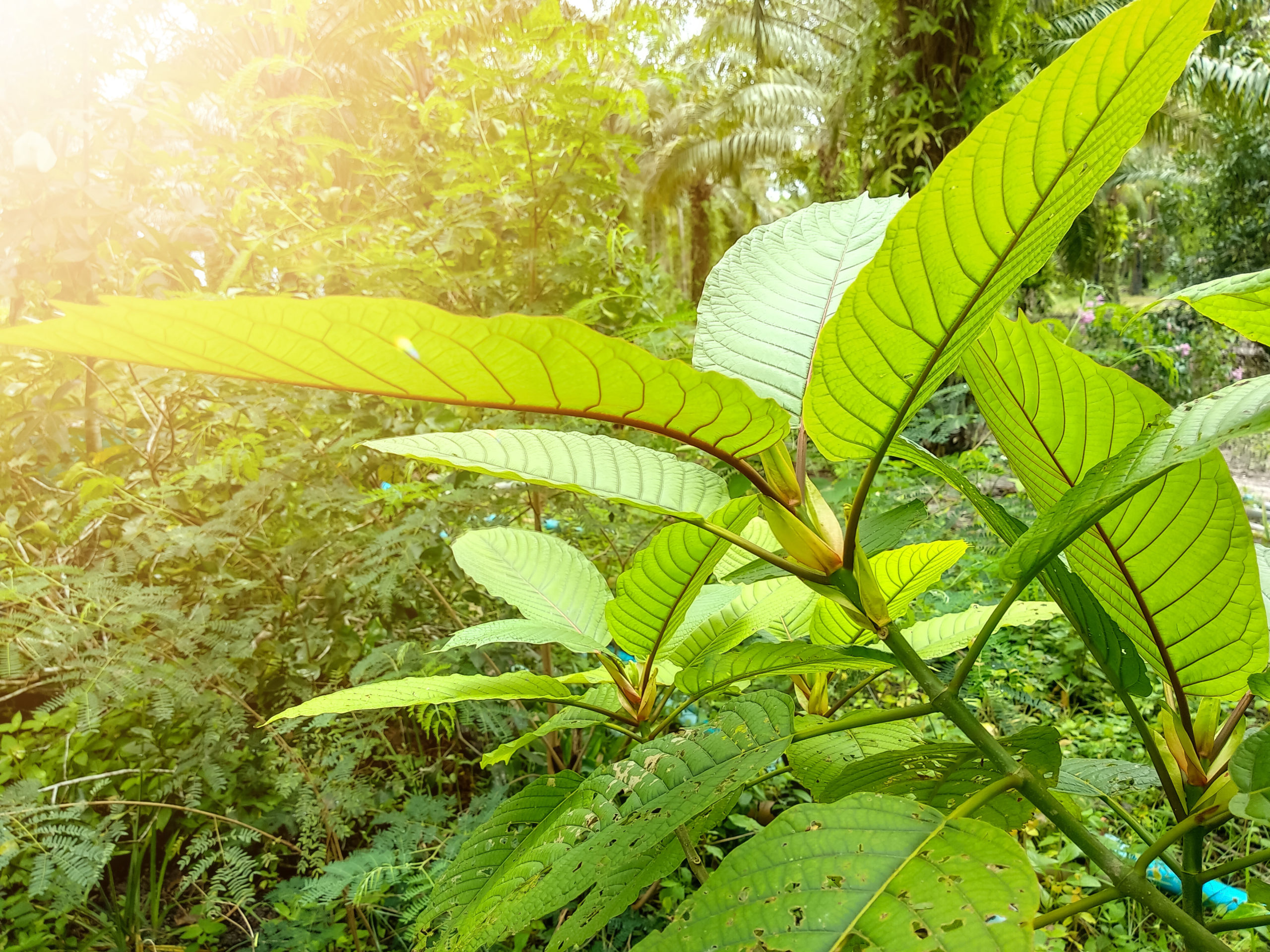 What to Know About Gold Kratom
