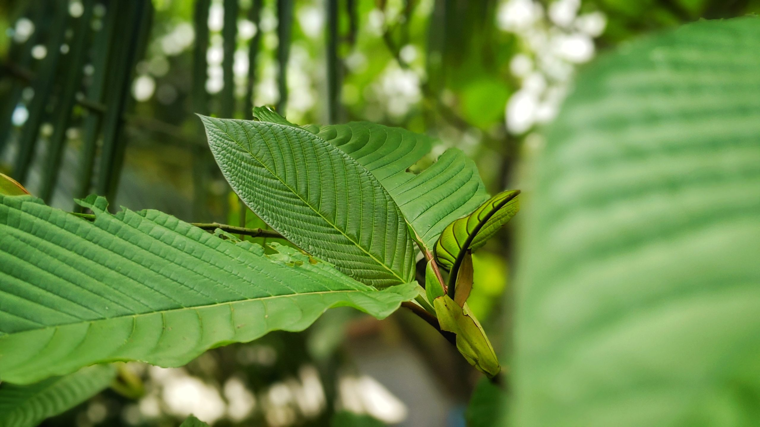 What You Need to Know About Maeng Da Kratom